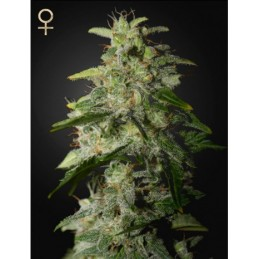 Money Maker Feminizadas - Strain Hunter Seeds
