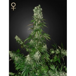 White Strawberry Skunk Feminizadas - Strain Hunter Seeds