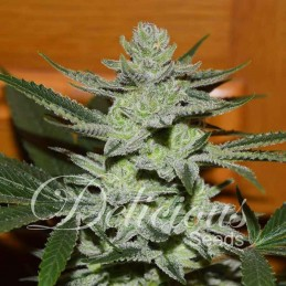 Desconocida kush fem.Delicious Seeds
