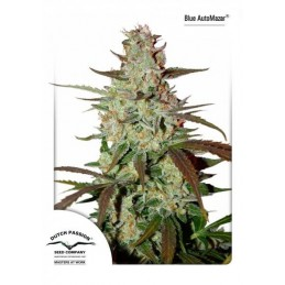 Blue Auto Mazar Feminizadas - Dutch Passion Seeds
